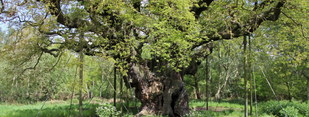 the major oak and the sherwood forest